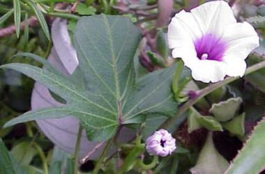 Ipomea batatas Purple Tuber