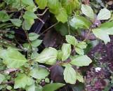 Buddleia indica [Nicodemia diversifolia]