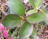 Peperomia clusiifolia [pericattii]