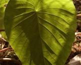 Steudnera colocasiifolia
