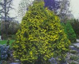 Thuja occidentalis wareana lutescens