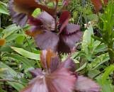Acalypha wilkesiana Haleakala