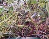 Aechmea calyculata X recurvata