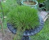 Agrostis stolonifera [hort]