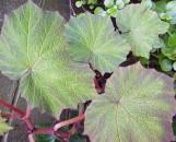 Begonia Art Hodes [hyb]