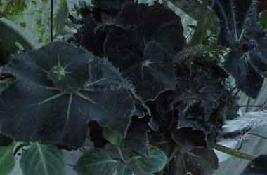 Begonia Hocking Wink