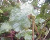 Begonia Mad Hatter [hyb]