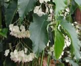Begonia Mrs. Hashimoto [hyb]