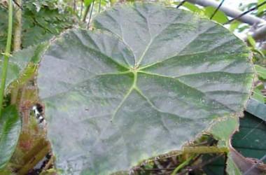 Begonia Rip's Wrinkle [hyb]