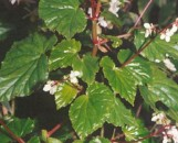 Begonia domingensis
