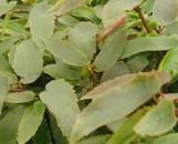 Begonia echinosepala
