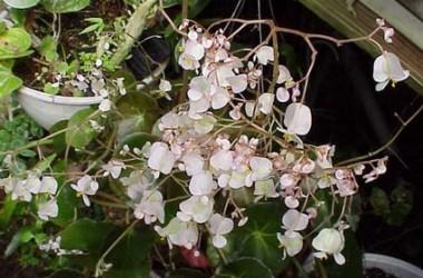 Begonia erythrophylla [hyb]