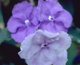 Brunfelsia latifolia magnifica