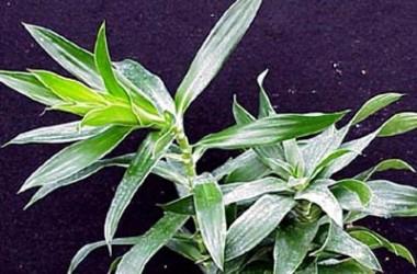 Dracaena reflexa gracilis