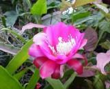 Epiphyllum Cindy's Red [hyb]