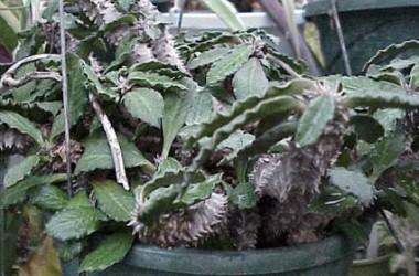 Euphorbia decaryii decaryii [Nova]