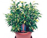Ficus benjamina Dutch Treat