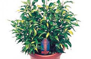 Ficus benjamina Dutch Treat