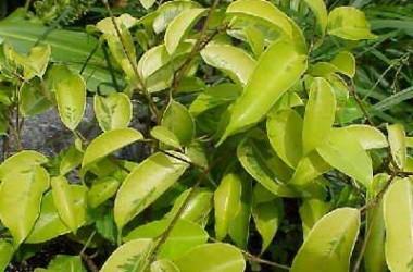 Ficus benjamina Gold Bit