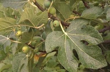 Ficus carica Mottled Stem