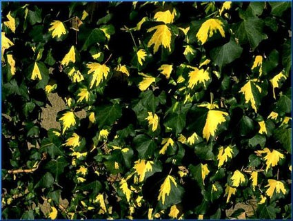 Hedera helix gold heart glasshouse works
