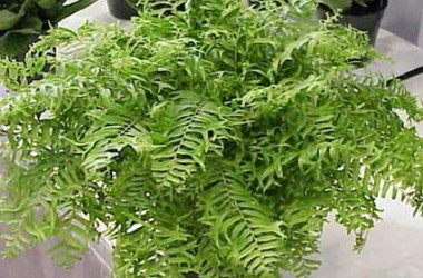 Fern Collection (5 plants)