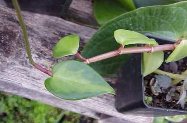 Peperomia distichia [scandens] Crane's Flecked