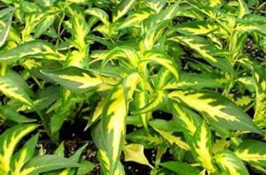Peristrophe hyssopifolia aureo-variegata