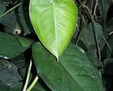 Syngonium macrophyllum