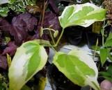 Thunbergia grandiflora variegata