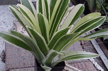 Bromeliad Collection (5 Plants)