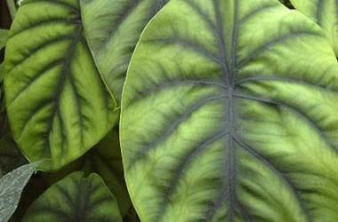 Alocasia clypeolata [cuprea Greenback]