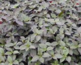 Alternanthera polygonoides Purple Selection