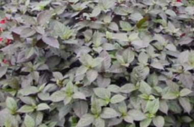 Alternanthera polygonoides Purple Selection