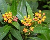 Asclepias curassavica Red Selection