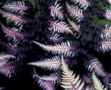 Athyrium nipponicum pictum Ursula's Red