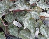 Begonia Aquamarine [hyb]