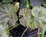 Begonia Curly Fascination [hyb]