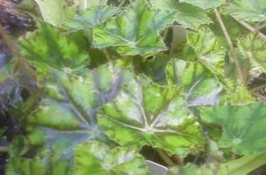 Begonia Tiger Brocade [hyb]