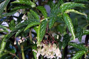 Begonia albo-picta [hyb]