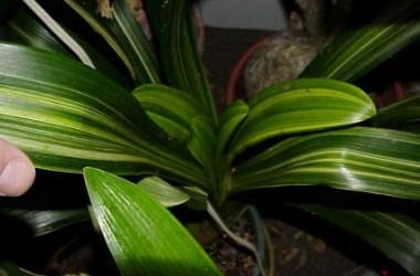 Clivia miniata variegata