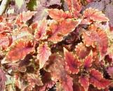 Coleus Red Ulrich