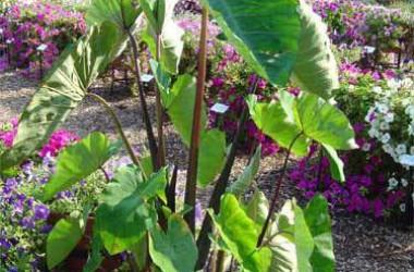 Colocasia esculenta Violet/Purple Stem