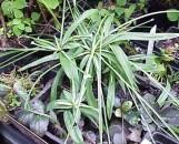 Cyperus fertilis