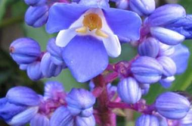 Dichorisandra thrysiflora variegata