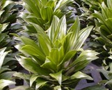 Dracaena deremensis Shogun Gold