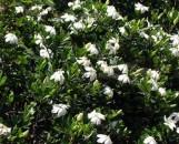 Jasmine: Plants Called Jasmines