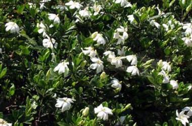 Jasmine: Plants Called Jasmines (5 plants)