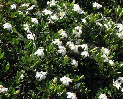 Gardenia jasminoides radicans florepleno - Glasshouse WorksGardenia Jasminoides Radicans Variegata