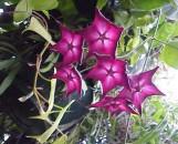 Hoya macgillvrayi